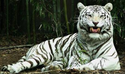 im578x383-tigr