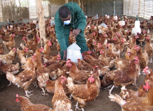 A Togolese poultry farmer cares for his animals 26 June 2007 in the town of Baguida, some 20 kms from Sigbehoue, 45 kms (30 miles) east of the capital Lome, where independent tests carried out in Italy have confirmed the presence for the first time of the deadly H5N1 strain of bird flu in the west African nation. Several thousand poultry birds have been found dead in Togo recently, most of them in the past week on a farm in Sigbehoue. The agriculture ministry said last week that measures had been taken to try and contain the possible spread of the virus, notably the slaughtering and disposal of infected poultry. AFP PHOTO / STR