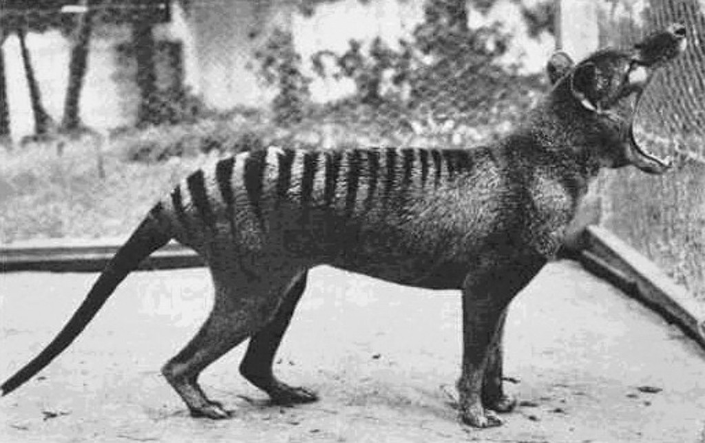 tasmanis
