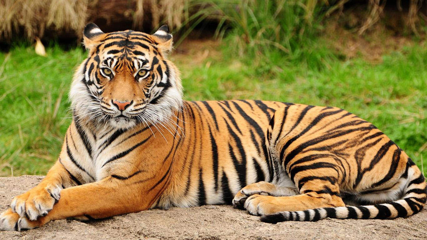 тигра картинка