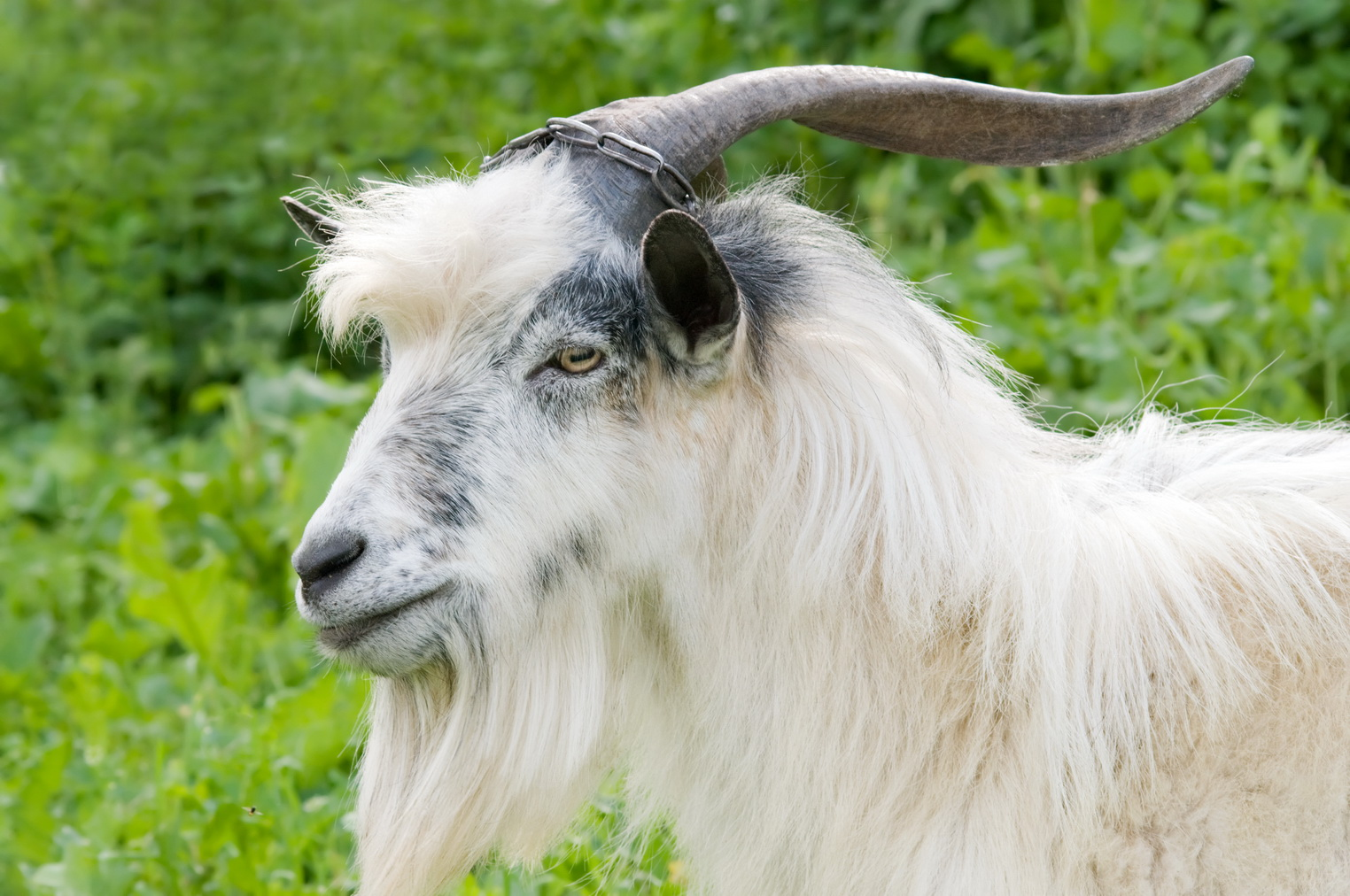 horned domestic male goat grazing at green lush meadow