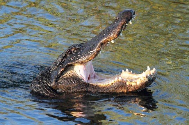 1494330696_alligator